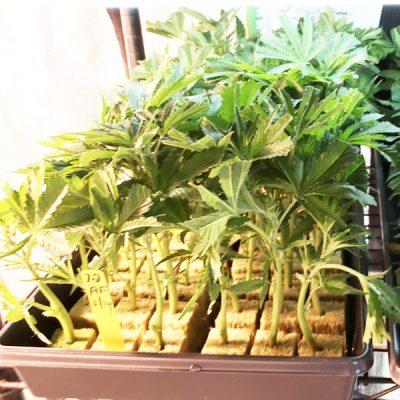 mandarin cookies marijuana clones